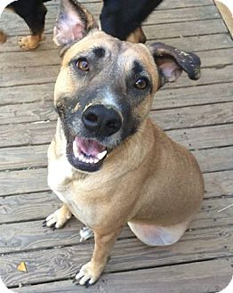 Shepherd (Unknown Type)/Labrador Retriever Mix Dog for adoption in Olive Branch, Mississippi - Annie