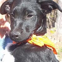 Adopt A Pet :: Darla - Pittsboro, NC