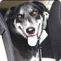 Alaskan Malamute Mix Dog for adoption in New Smyrna Beach, Florida - Blitzen