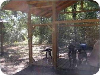 English Springer Spaniel/Labrador Retriever Mix Puppy for adoption in HOBOKEN, Georgia - Ethel