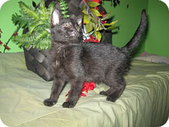Domestic Shorthair Kitten for adoption in Clearfield, Utah - Perilla