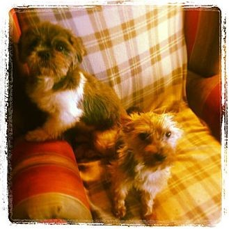 Shih Tzu/Yorkie, Yorkshire Terrier Mix Dog for adoption in San Diego, California - Pepper and Poodah