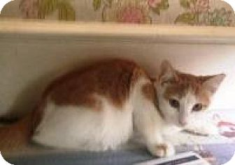 Domestic Mediumhair Cat for adoption in Medford, New Jersey - Caramel (Jeannie's Kittens)