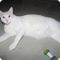 Domestic Shorthair Cat for adoption in Venice, Florida - Clarke Gable