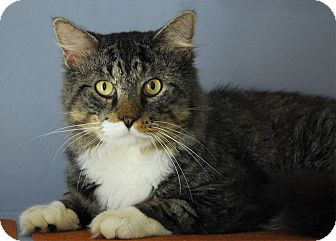 Maine Coon Cat for adoption in Winchendon, Massachusetts - Sebastian
