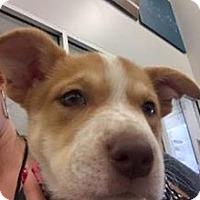Adopt A Pet :: Pearl - San Angelo, TX
