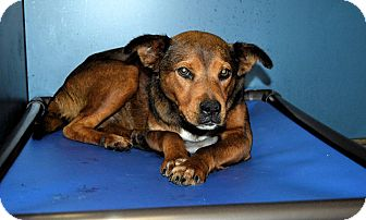 Shepherd (Unknown Type)/Labrador Retriever Mix Dog for adoption in Henderson, North Carolina - Holly