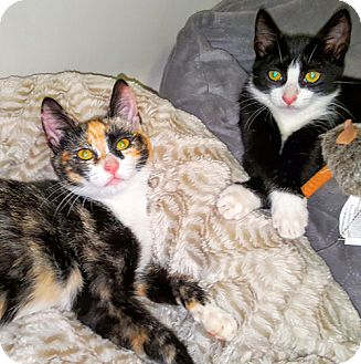 Domestic Shorthair Kitten for adoption in Brooklyn, New York - Olivia and Lulu, Lovely Little Angels