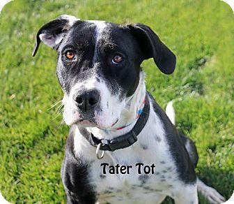 Border Collie/Pit Bull Terrier Mix Dog for adoption in Idaho Falls, Idaho - Tater Tot