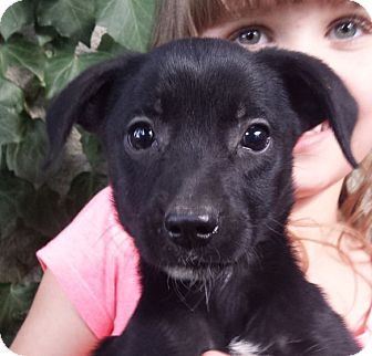 Feist/Labrador Retriever Mix Puppy for adoption in Preston, Connecticut - Rogue AD 12-10-16
