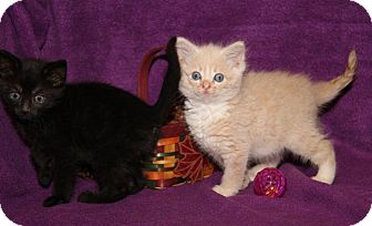 Domestic Mediumhair Kitten for adoption in Orland Park, Illinois - Huck Finn & Tom Sawyer (Bonded