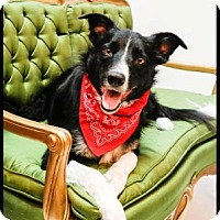 Adopt A Pet :: Cowboy - Richardson, TX