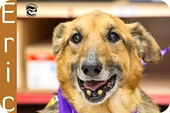 Shepherd (Unknown Type)/German Shepherd Dog Mix Dog for adoption in Clarkston, Michigan - Eric *CAT FRIENDLY*