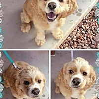 Cocker Spaniel Dog for adoption in Scottsdale, Arizona - Pepe