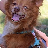 Pomeranian/Papillon Mix Dog for adoption in Winters, California - Benson