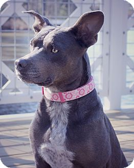 Australian Cattle Dog/American Pit Bull Terrier Mix Dog for adoption in Greensboro, Georgia - Cleo