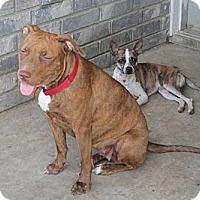 Adopt A Pet :: Molly - Copperas Cove, TX