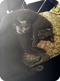 Domestic Shorthair Cat for adoption in Knoxville, Tennessee - Alexander
