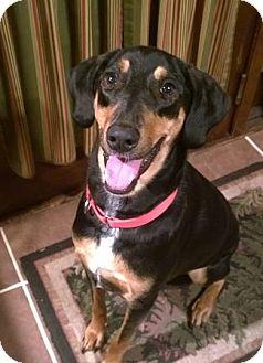 Doberman Pinscher Mix Dog for adoption in Bath, Pennsylvania - Jax