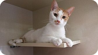 Domestic Shorthair Cat for adoption in Berkeley Hts, New Jersey - Sundance