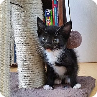 Domestic Shorthair Kitten for adoption in Tampa, Florida - Dressy Bessy