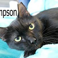 Domestic Shorthair Cat for adoption in Wichita Falls, Texas - Sampson