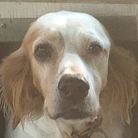 English Setter Mix Dog for adoption in Pine Grove, Pennsylvania - DIXIE