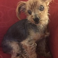 Yorkie, Yorkshire Terrier Mix Dog for adoption in Tallahassee, Florida - Rocky G