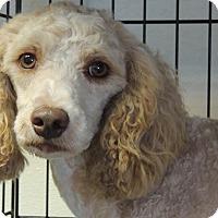 Adopt A Pet :: champ - Joplin, MO