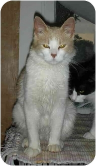 Domestic Mediumhair Cat for adoption in Elmira, Ontario - Jaxson