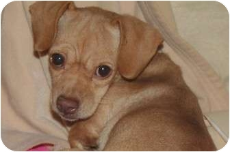 Chihuahua/Dachshund Mix Dog for adoption in Westfield, Indiana - Zoey