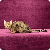 Domestic Shorthair Cat for adoption in Cary, North Carolina - Jax