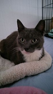 Domestic Shorthair Cat for adoption in Naples, Florida - Blue