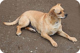 Pug/Dachshund Mix Dog for adoption in Newtown, Connecticut - Rusty