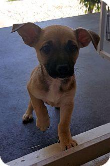 Australian Cattle Dog/German Shepherd Dog Mix Puppy for adoption in Winnetka, California - DOBBY