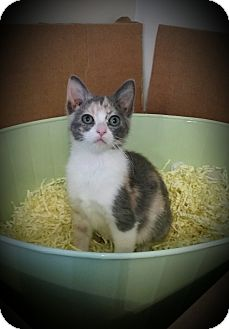 Domestic Shorthair Kitten for adoption in Rochester, Minnesota - Faith
