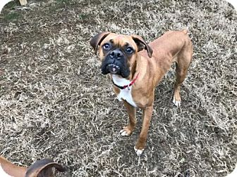 Boxer Dog for adoption in Brentwood, Tennessee - Kenny