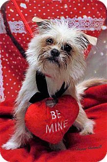 Shih Tzu Mix Dog for adoption in Twin Falls, Idaho - Odie