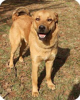 Golden Retriever/Shepherd (Unknown Type) Mix Dog for adoption in Brattleboro, Vermont - McFly