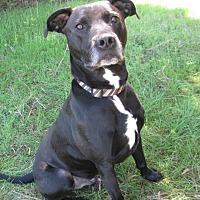 Adopt A Pet :: Beau - Huntsville, AL