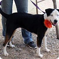 Adopt A Pet :: Holly - Arlington, TX