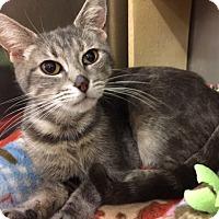 Adopt A Pet :: Kitty Purry - Cincinnati, OH