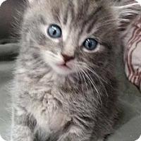 Adopt A Pet :: Pikachu - Springdale, AR
