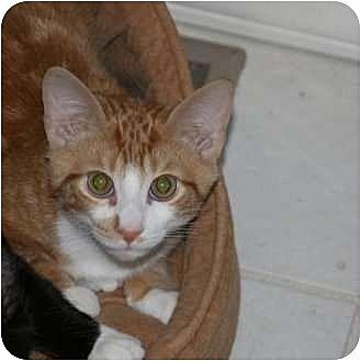 Domestic Shorthair Kitten for adoption in Brodheadsville, Pennsylvania - Butterfinger