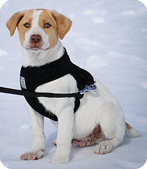 Labrador Retriever/Hound (Unknown Type) Mix Puppy for adoption in Mt. Prospect, Illinois - Taft