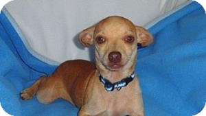 Chihuahua/Miniature Pinscher Mix Dog for adoption in Seattle, Washington - Triscuit - CUTE BOY