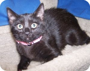 Domestic Shorthair Cat for adoption in Colorado Springs, Colorado - K-Twinkle3-Loretta
