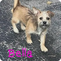 Adopt A Pet :: Bella - House Springs, MO