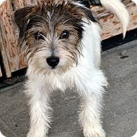 Adopt A Pet :: Fritz-Adoption pending - Bridgeton, MO