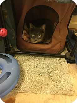 Domestic Shorthair Kitten for adoption in Columbia, Maryland - Smoky